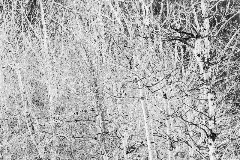 Jumble of winter aspens