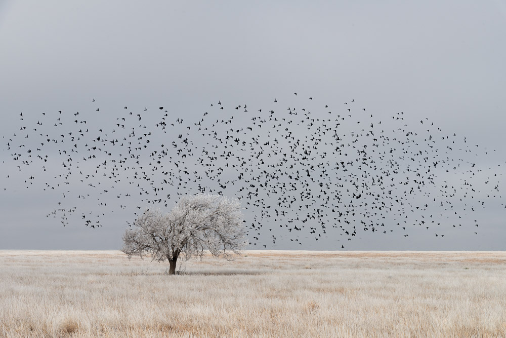 Frosty high plains morning with a flock of birds